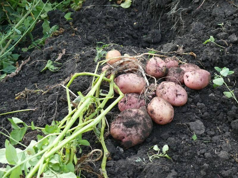 Картофель романо: характеристика с фото, особенности выращивания, отзывы - общая информация - 2020