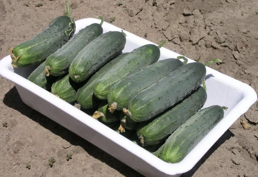 Огурец «гектор f1»: описание и выращивание
