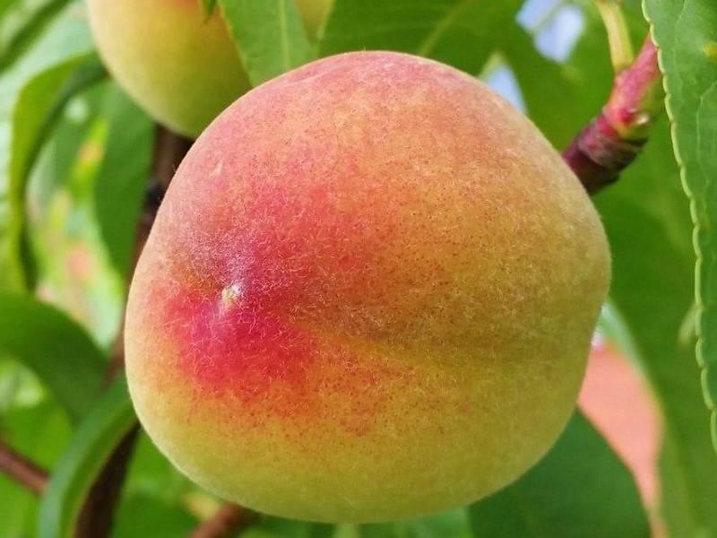 Сорт персик ветеран
