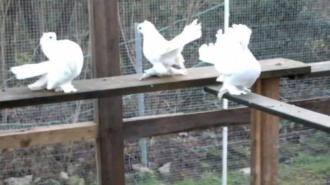 Статные голуби - красивая, гордая осанка и изящная форма тела