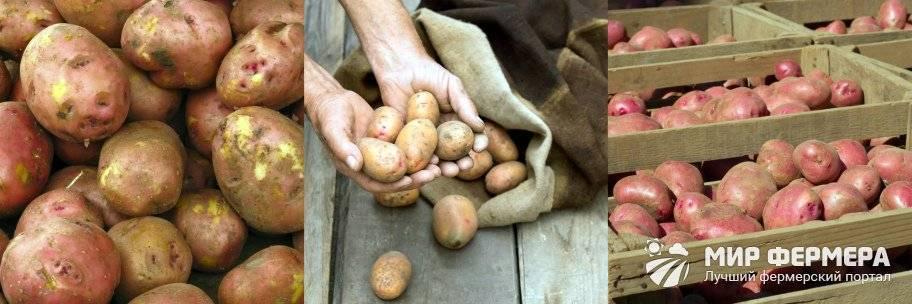 Названия сортов картошки для длительного хранения зимой