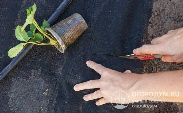 Описание сорта клубники корона (много фото)
