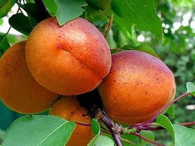 Характеристика и правила выращивания абрикоса сын краснощёкого