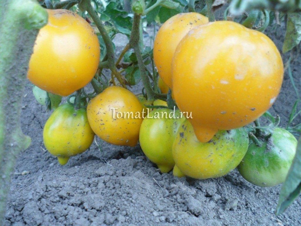 Томат Чудо света: отзывы, фото, урожайность