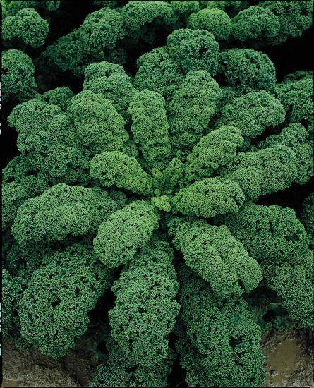 Описание и характеристика листовой капусты кейл