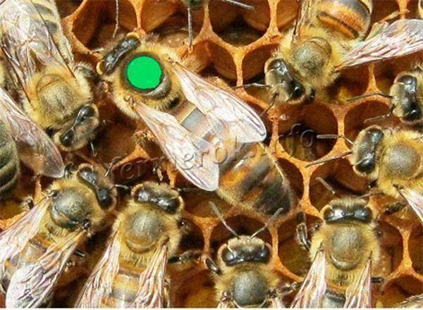 Особенности гималайских пчёл и их мёда