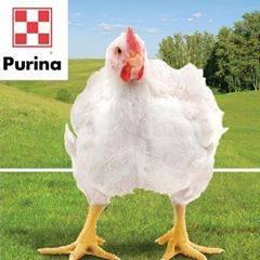Корм для свиней purina: инструкция по применению добавки в корм для свиней и поросят. как приготовить комбикорм с использованием бмвд и бмвк purina?