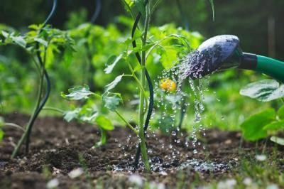 Томат лисичка: описание и урожайность сорта, особенности выращивания и ухода