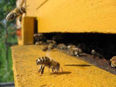 Как вылечить аскосфероз пчел