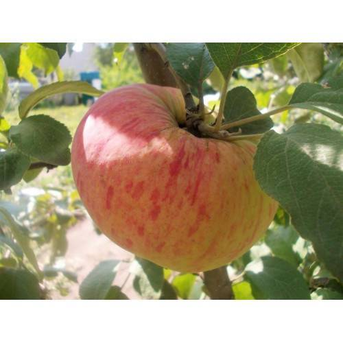 Яблоня орловское полосатое: описание сорта, фото, отзывы садоводов