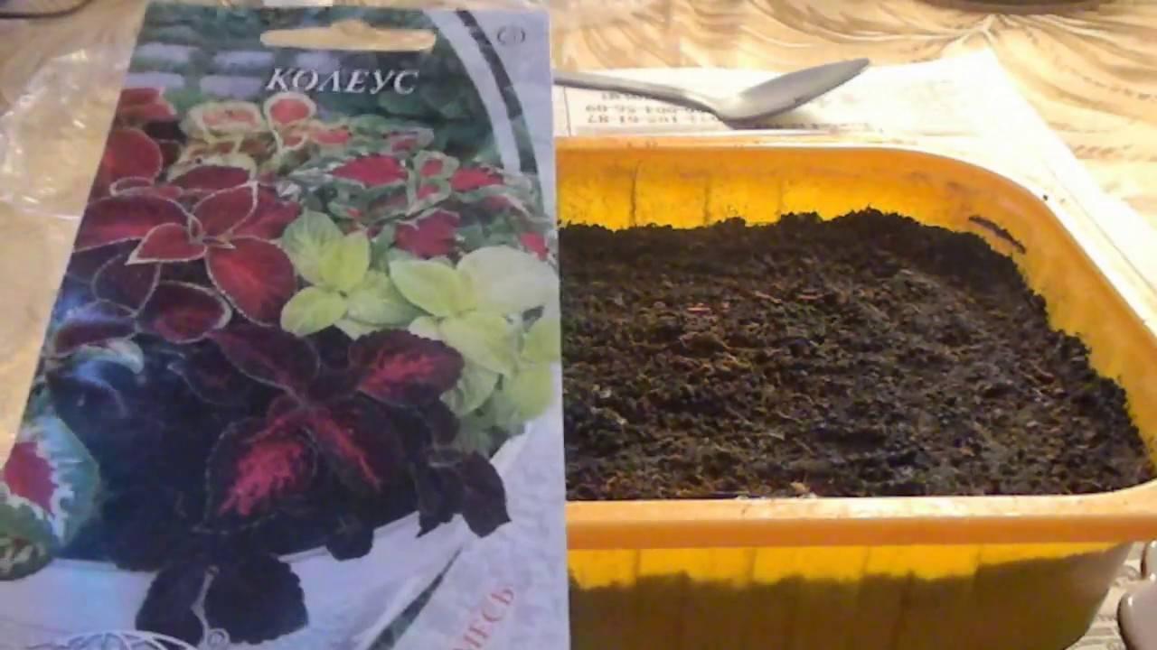 Как вырастить рассаду клеомы в домашних условиях: посадка семян, уход