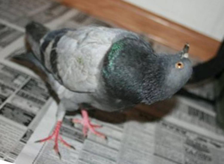 Чем можно заразиться от голубей