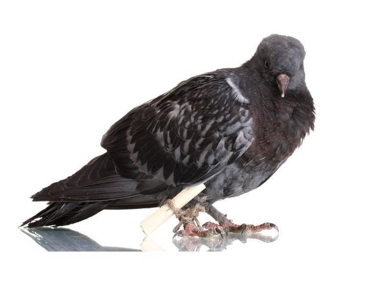 Как почтовые голуби меняли ход истории | русская семерка