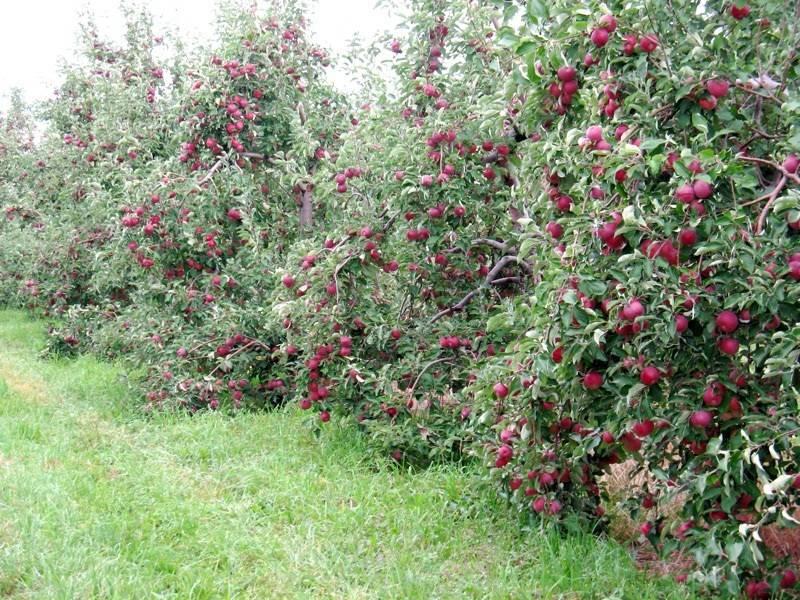 Особенности ухода за яблоней сорта медуница