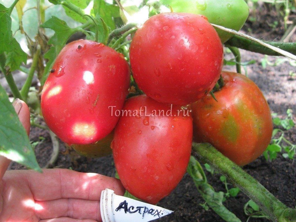 Томат «астраханский оранжевый»: особенности выращивания и уход