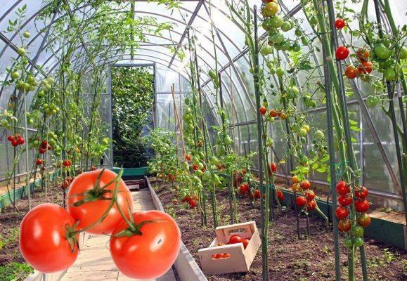 Как происходит выращивание томатов на урале в теплице? инструкция и особенности