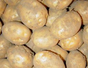 Сорт картофеля с гарантированным урожаем на любой почве и в любом климате — «удача»