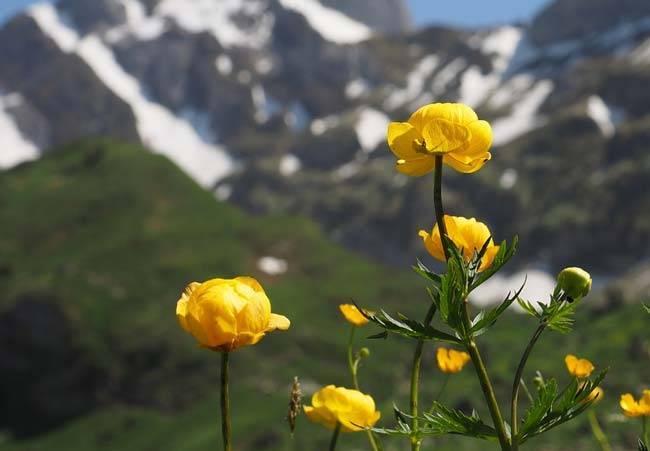 Купальница (65 фото): посадка и уход за цветком в открытом грунте, описание растения, купальница китайская и желтая, оранжевая и алтайская