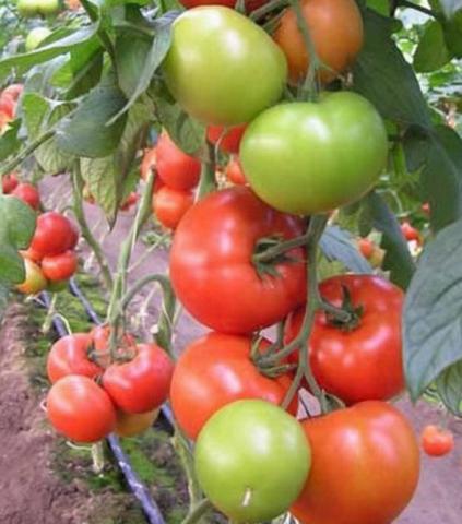 Сорт томата евпатор