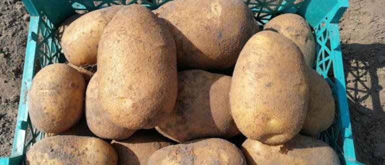 Картофель розалинд: описание и характеристика, особенности выращивания картофеля