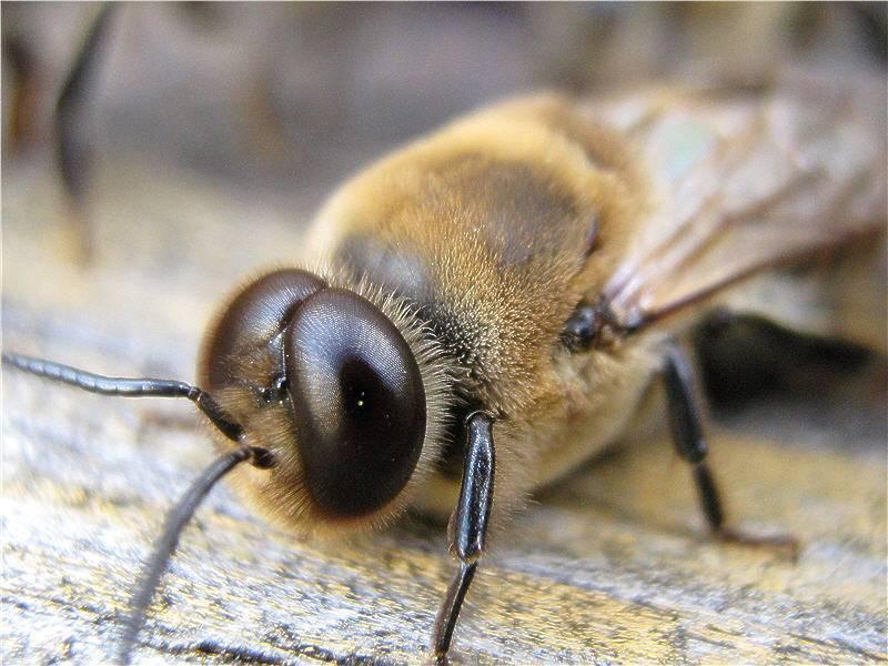 Трутень - это... пчелиный трутень: особенности строения, роль в пчелиной семье
