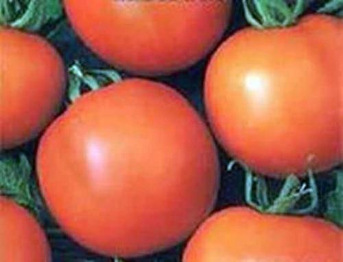 Неоправданно забытый — томат «лонг кипер»: описание сорта и фото, когда сажать рассаду