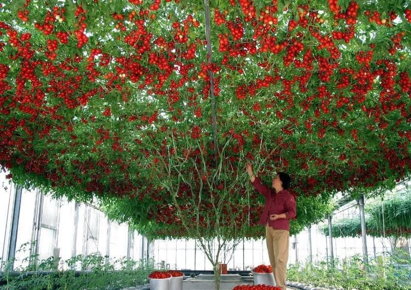 Томат спрут f1 – выращивание в открытом грунте