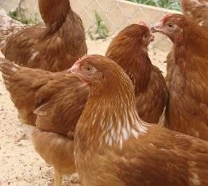 Описание породы кур редбро