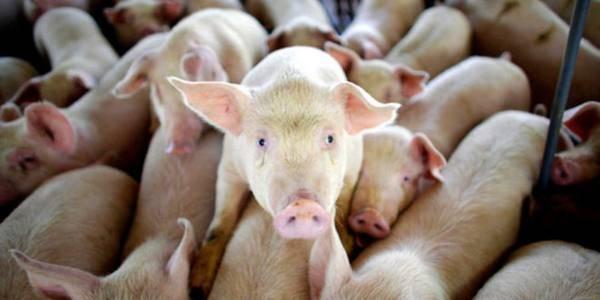 Свинья не встает на ноги: распространенные причины и лечение