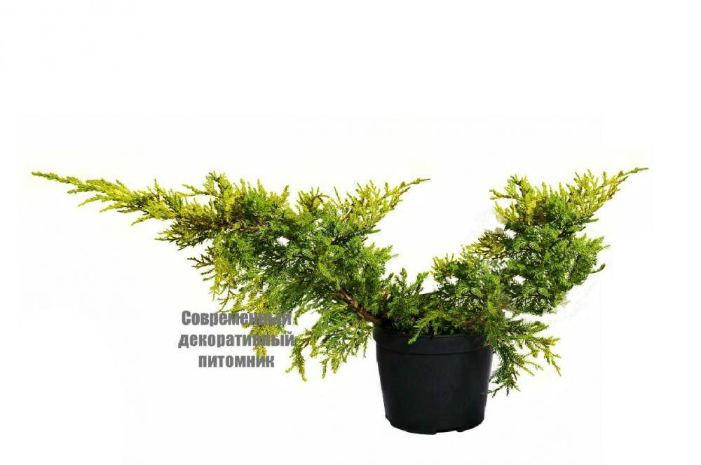 Можжевельник средний блю энд голд (juniperus рfitzeriana blue and gold)