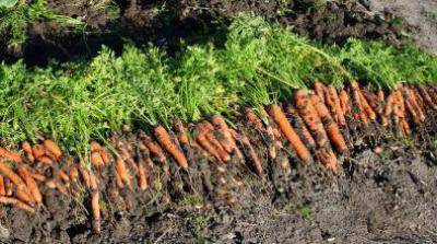 Описание моркови сорта нандрин