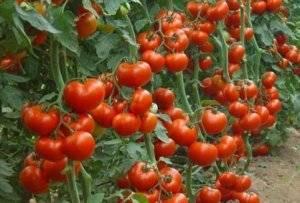 Когда и чем подкормить рассаду помидоров: график, в какие сроки начинать удобрять томаты в теплице и что делать – схема работ, расписанная в таблице