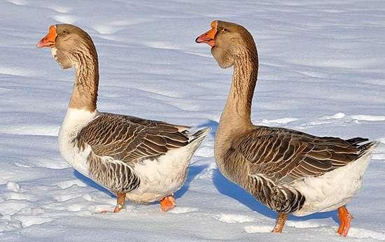 Холмогорские гуси: описание породы