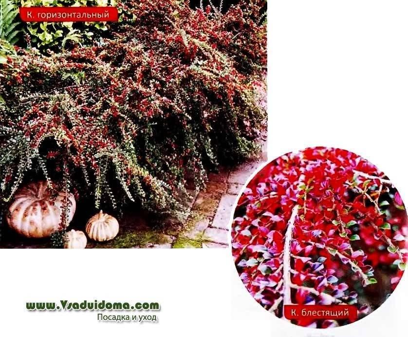 Кизильник горизонтальный, фото, описание, посадка, выращивание, уход, применение