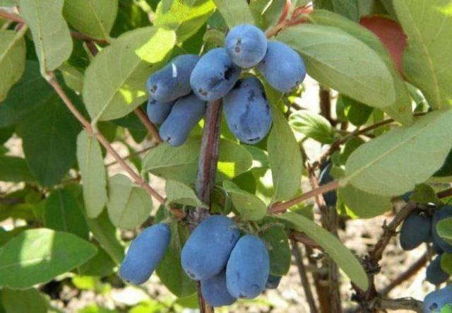 Жимолость «югана»: описание сорта кустарников, урожайность, посадка, выращивание и уход