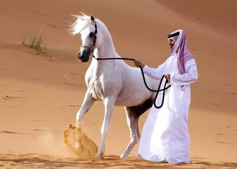 Лошади арабской породы: описание, особенности разведения в домашних условиях