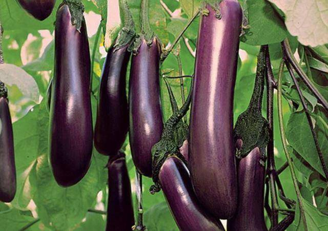 Описание, характеристика и особенности выращивания баклажана валентина f1
