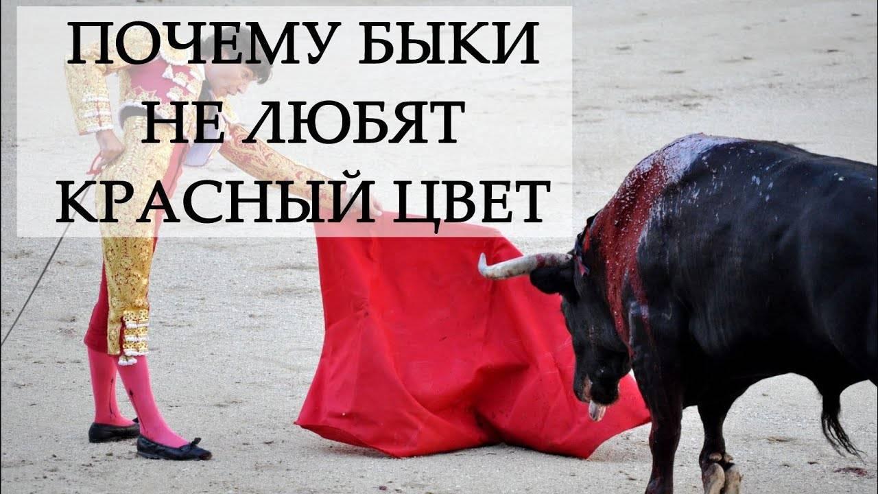 Почему считается, что быки реагируют именно на красный цвет. почему быки не любят красный цвет? причины агрессии почему у быка красные глаза