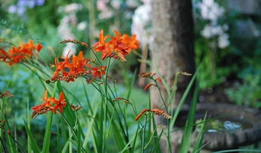 Монтбреция или крокосмия: посадка и уход в открытом грунте за растением с метельчатыми соцветиями и оригинальными цветками