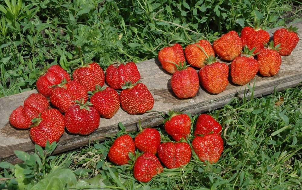 Клубника максим: описание сорта, отзывы садоводов, фото