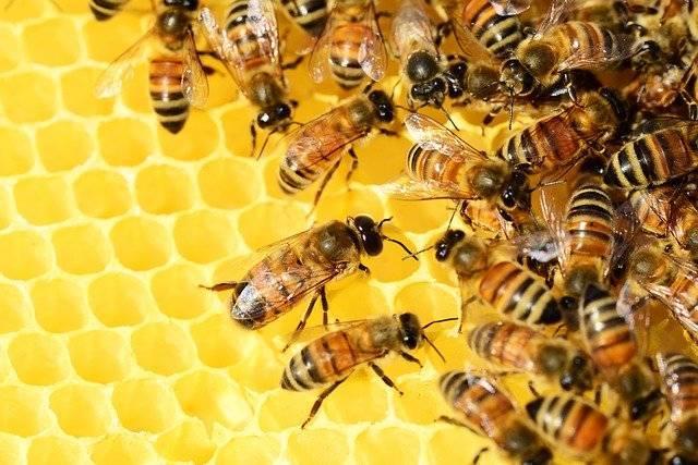 Самые распространённые болезни пчелиного расплода и их лечение