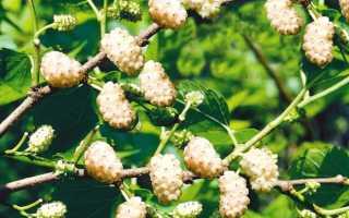 Шелковица черная баронесса — ягоды грибы