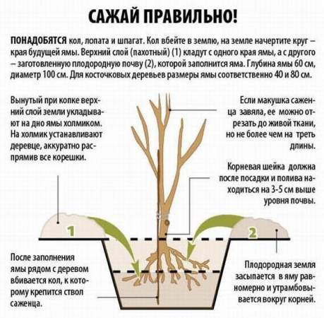 Как правильно посадить вишню, включая выбор саженца, места и сроков посадки