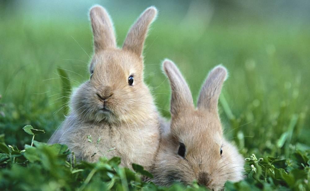 Болезни кроликов: симптомы и их лечение, фото, вирусная геморрагическая, ушей, миксоматоз, глаз, профилактика, какие опасны