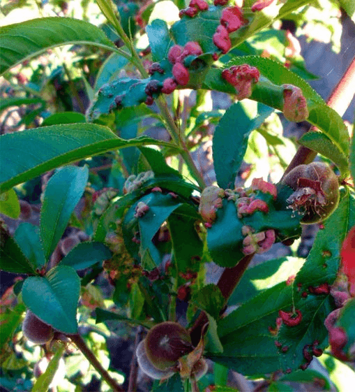 Курчавость персика: чем лечить, чем опрыскать от курчавости после цветения
