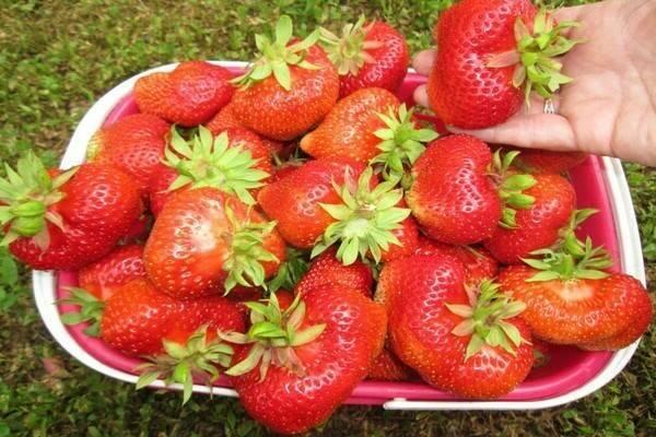 Земляника кимберли: характеристика раннего сорта и особенности выращивания