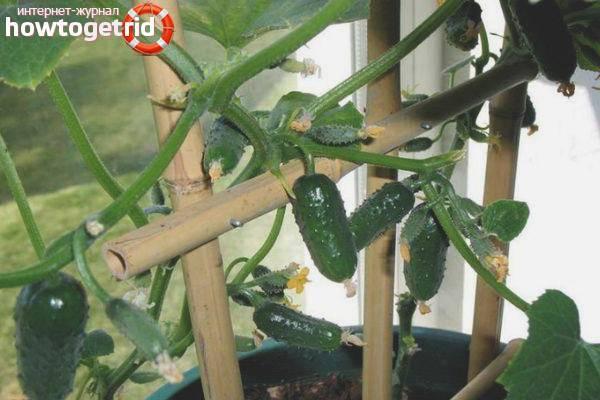 Гибрид огурцов «балконный f1» как на балконе и окне, так и в открытом грунте: фото, видео, описание, посадка, характеристика, урожайность, отзывы