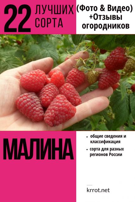 Малина геракл — крупноплодная ремонтантная: описание сорта, уход, урожайность