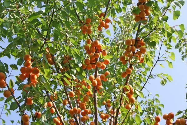 Характеристики сорта абрикоса алеша и уход за ним