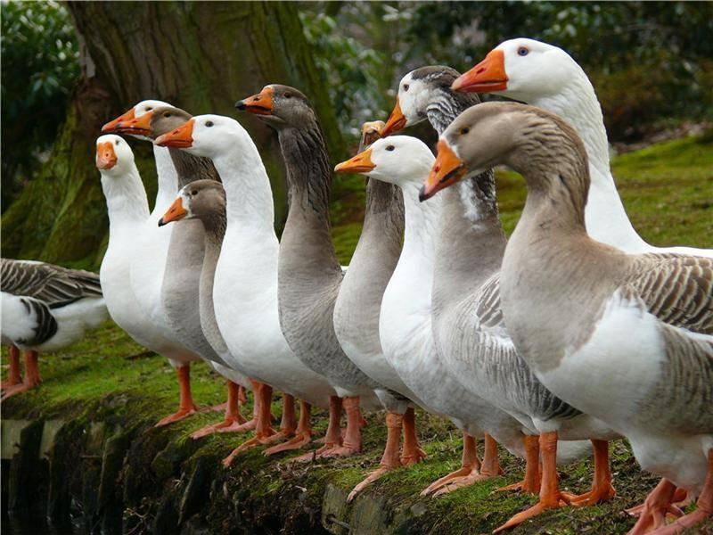 Как содержать и разводить гусей датский легарт?